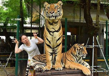 Tiger Kingdom Phuket - Take Three