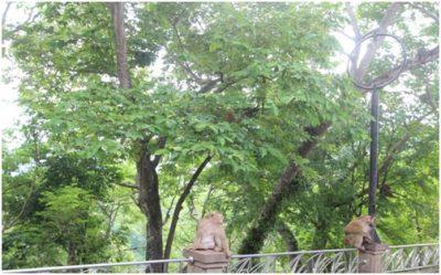 Local Monkey Rang Hill